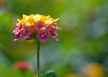 Lantana Blossom (Left) at SC State House Royalty Free Stock Photography