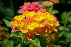 Lantana-Blume Stockfoto