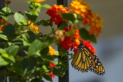 Profile of Monarch Butterfly Pollinating Red Lantana. Lantana, a bush with vibrant mini bouquets of flowerets, is a favorite of Monarch butterflies, as is seen royalty free stock photos
