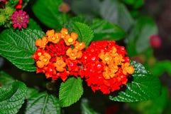 Lantana Camara also known as Spanish Flag or West Indian Lantana. Pune Stock Image