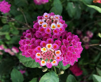 Lantana camara royalty free stock photography