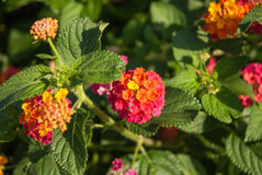 Lantana camara. Beautiful Colorful Hedge Flower, Weeping Lantana, Lantana camara Linn in the garden royalty free stock photos