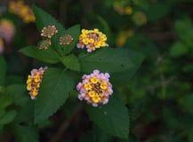 Lantana camara. Beautiful small flowers. stock photo