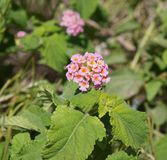 Lantana Camara blossom Stock Photo