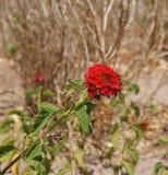 Lantana Camara blossom Royalty Free Stock Photography