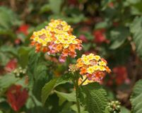 Lantana Camara blossom, selective focus on the flower Stock Images