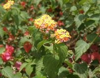 Lantana Camara blossom, selective focus on the flower Stock Photos