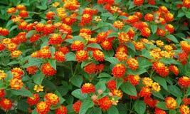 Lantana camara Blumen Stockfoto