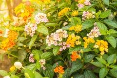 Lantana Camara-Blumenblüte im Garten Stockfotografie