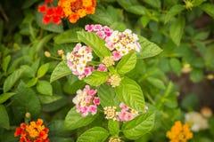 Lantana Camara-Blumenblüte im Garten Lizenzfreie Stockbilder