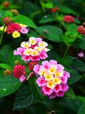 Lantana Camara, Cinco Negritos Flower In A Nice Garden Stock Photography