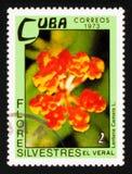 Lantana camara, Dzikich kwiatów seria około 1973, Zdjęcia Royalty Free