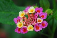 Lantana Camara Flower. Macro of pink and yellow lantana camara flower Royalty Free Stock Photos