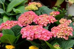 Lantana camara flower Stock Image