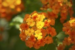 Lantana Camara Flower Image libre de droits