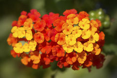 Lantana Camara Flower Royalty-vrije Stock Foto's