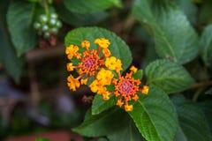 Lantana Camara Flower Royalty-vrije Stock Afbeeldingen