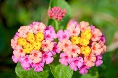 Lantana Camara Flower Fotografia de Stock Royalty Free