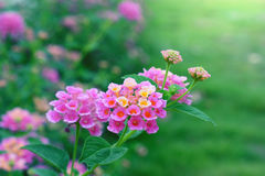 Lantana Camara Flower Fotografía de archivo