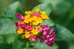 Lantana camara. Flower, beautiful toxicity flower stock images