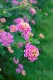 Lantana camara flower. Royalty Free Stock Photography