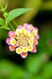 Lantana camara flower close up Royalty Free Stock Photos