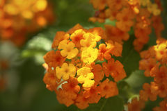 Lantana Camara Flower Royalty Free Stock Image
