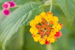 Lantana camara flower Royalty Free Stock Images