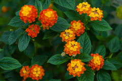 Close up of Lantana camara stock photos and images. Lantana Camara Flower Close Up Royalty Free Stock Photography
