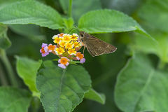 Close up of Lantana camara stock photos and images. Lantana Camara Flower Close Up Stock Photos