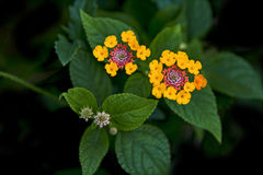 Close up of Lantana camara stock photos and images. Lantana Camara Flower Close Up Royalty Free Stock Photos