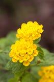 Lantana Camara Flower. Close up of two Yellow Lantana Camara flowers Stock Images
