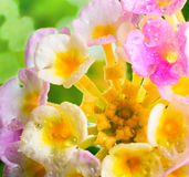 Lantana camara flower with drops on blur background Stock Photography