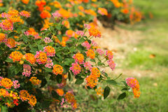 Lantana Camara flower Stock Photography