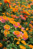 Lantana Camara flower Stock Photo