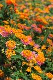Lantana Camara flower stock photo