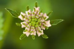 Lantana camara flower in Turkey Stock Images