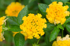Free Lantana Camara Flowers Stock Image - 40479891