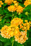 Lantana camara flowers Royalty Free Stock Photo