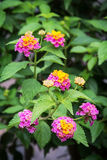 Lantana camara flowers Stock Image