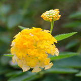 Lantana camara flowers Stock Photos