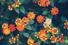 Lantana camara flowers royalty free stock photos