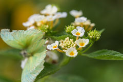 Lantana camara flowers Royalty Free Stock Image