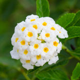Lantana camara flowers Royalty Free Stock Photography
