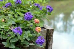 Lantana camara flowers Stock Images