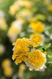 Lantana camara  flowers Stock Photos