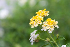 Lantana camara flowers Royalty Free Stock Images