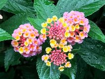 Lantana camara with focus on the leaves royalty free stock photo