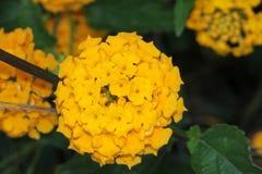 Lantana camara `Gold Mound` Royalty Free Stock Image