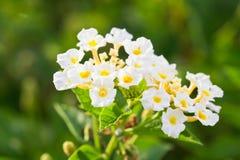 Lantana camara kwiat Zdjęcie Stock